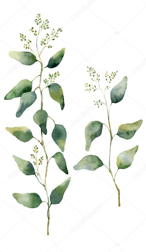 Watercolor eucalyptus leaves and branches with flowers. Hand painted flowering eucalyptus. Floral illustration isolated on white background. For design, textile and background.