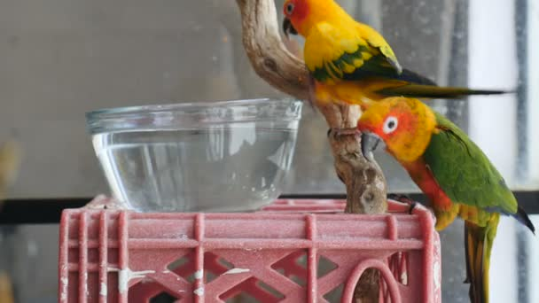 Two conure parrots perched on a plastic crate and wooden stick