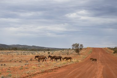 Wild horses crossing