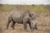 Photo Rhino on african savannah