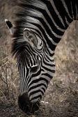Zebra v Krugerově parku