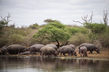 A Family of hippos on the bank by the water