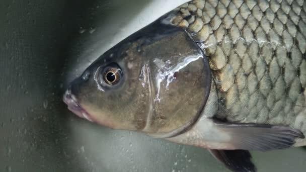 Živý rybí kapr dýchá ve dřezu