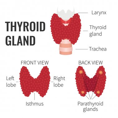Thyroid gland structure