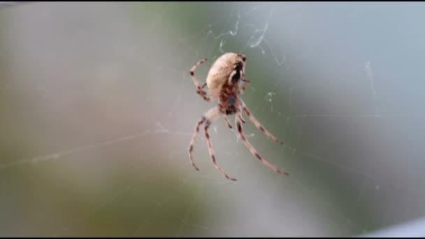 Zoropsis spinimana italienische Spinne auf einem Netz mit Wind