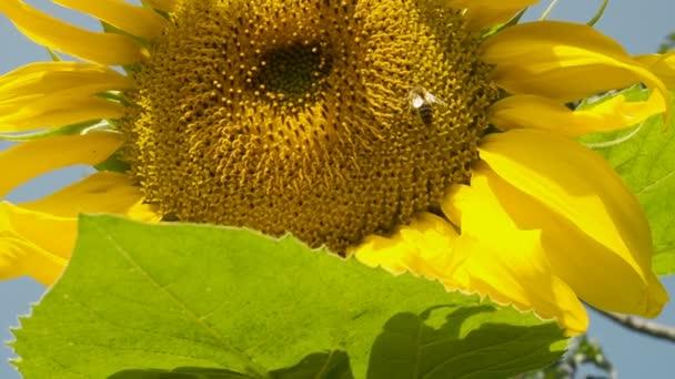 Včela, slunečnice, slunečné počasí a modrá obloha