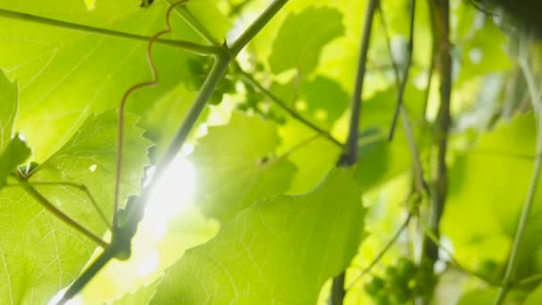 Grape Leaves, vine, vineyard