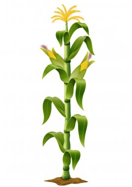 Corn plant isolated