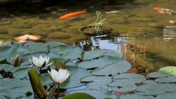 Ryby plavat mezi listy v rybníku