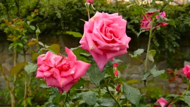 Gyönyörű vörös rózsa a parkban