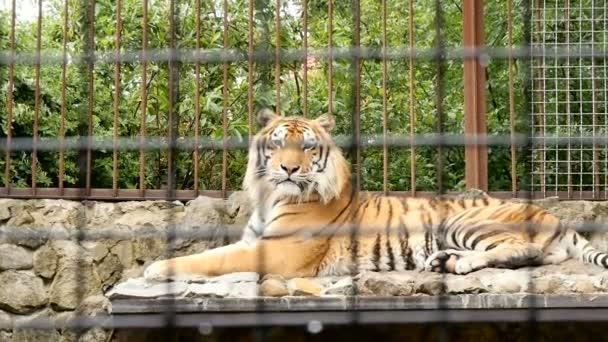 Tygr v kleci zoo