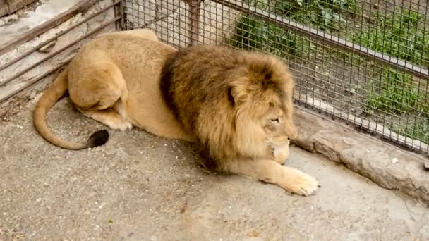 Lion resting in a cage at the zoo.
