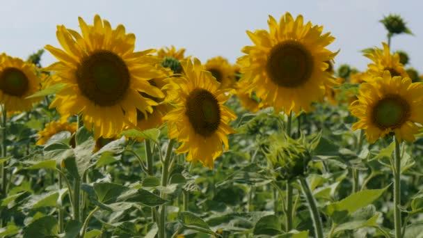 Egy napsütéses napon a könnyű szélben hajladozó napraforgó.