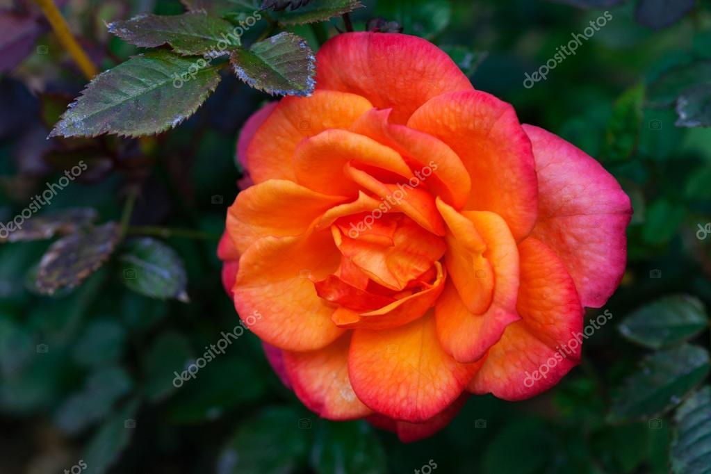 Miniature yellow and pink rose, close up