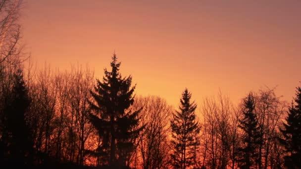 Borovice lesní silueta. Západ slunce nad Les, jasná obloha při západu slunce pozadí