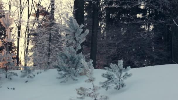 Slunečního záření v zimním lese. Podsvícení stromy v zasněžených scéně. Západ slunce v lese