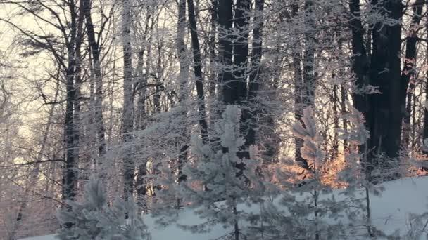 Panorama zimní les. Zimní les. Stromy sněhem