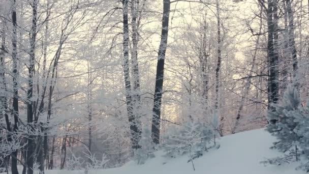 Winter forest landscape. Winter scene. Panning on winter forest