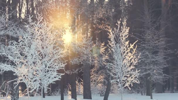 Západ slunce v zimním lese. Paprsky slunce svítí přes zimu stromy. Zimní slunce