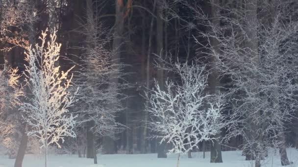 Ráno v zimním lese. Východ slunce v zimním lese. Stromy pokryté sněhem