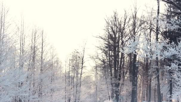Winter background. Snow covered trees in winter forest