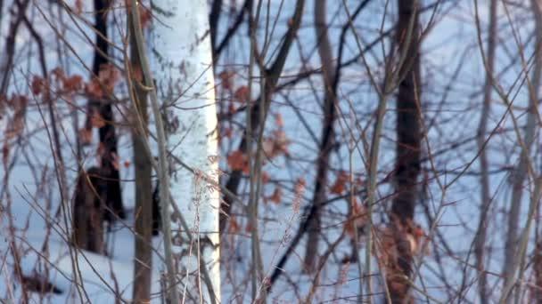 Zimní příroda. Suchých rostlin v zimním lese. Suché trávy a bříza strom v zimě