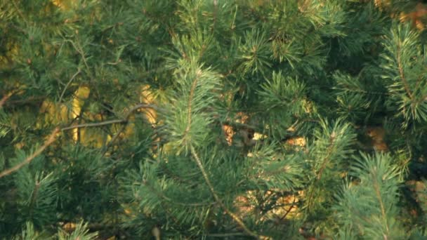 Pine tree with green pine branches. Pine tree needle leaves. Closeup
