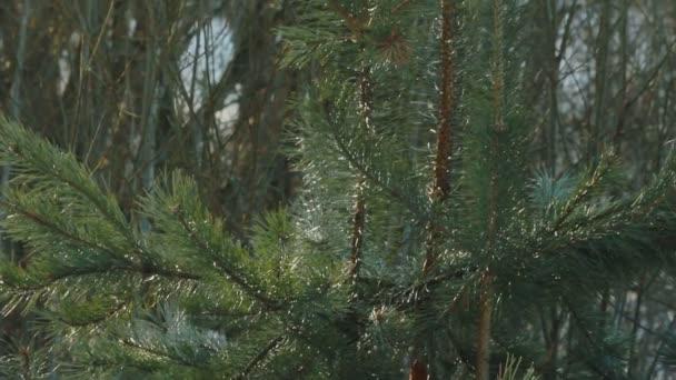 Jehličnatý strom v zimním lese. Pine jehly na větvích borovice