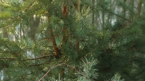 Strom borovice jehly listy. Přírodní pozadí. Zelené borové větve. Borovice pozadí