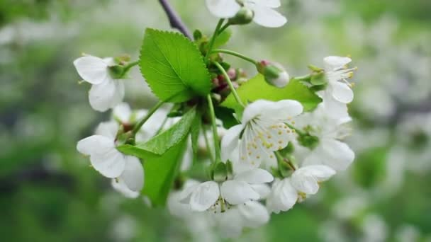 White flowers on blossoming cherry tree in spring. Blooming cherry flowers