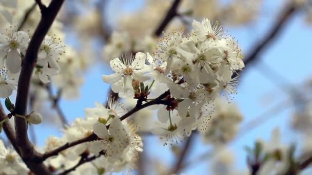 Jarní květy. Květina, kvetoucí na větev stromu. Closeup. Modrá obloha