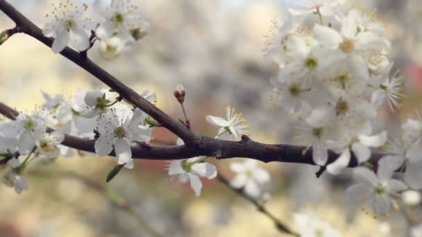 Cherry blossom and branches on tree in panorama view. Closeup of blossom.
