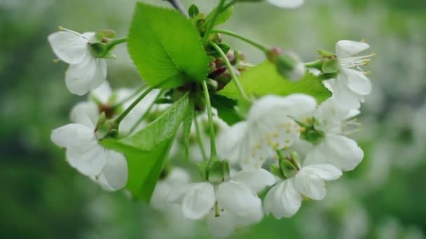 White flowers on cherry tree. Spring background. Cherry tree blossoming