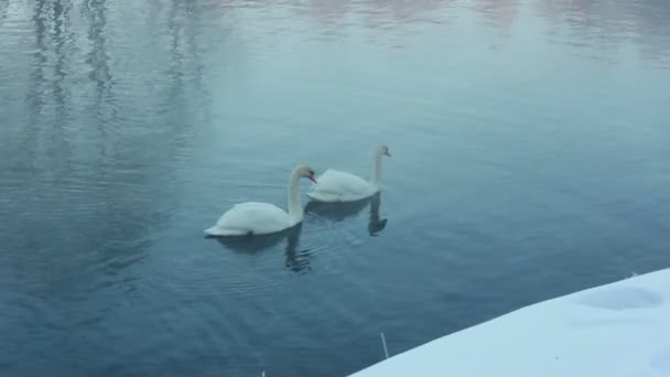 Couple of white swans swimming on water. Fog over cold river