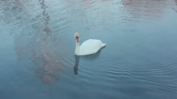 Swan dive. Potápění se swan. Vodní pták. Bílá Labuť, koupání v jezeře