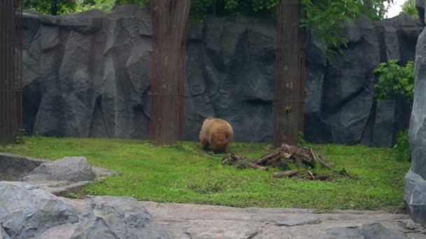 Brown bear in zoo behind fences. Huge ursus arctos running in zoological park