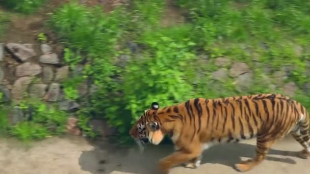 Siberian tiger in zoo. Wild tiger in aviary. Carnivore in zoological park