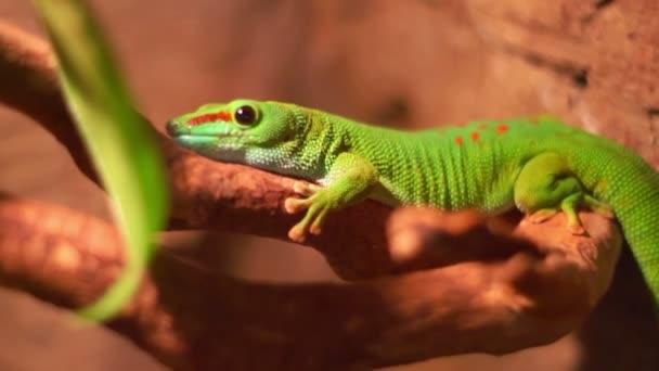 Reptile in zoo terrarium. Phelsuma gecko lizard. Closeup of madagascar lizard