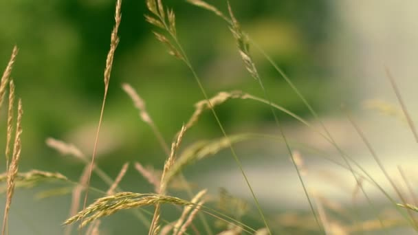 Green spike swaying in wind. Blurred background