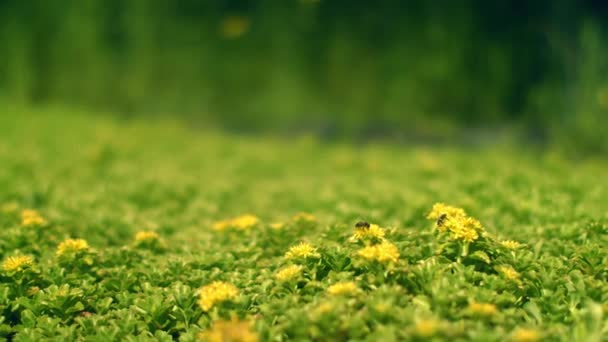 Green field with yellow flowers. Bee collects nectar on flower. Spring flowers