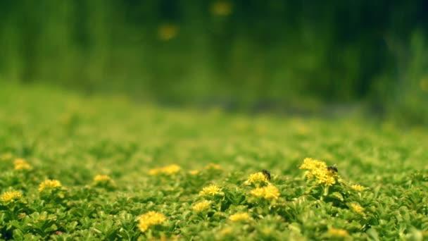 Žluté květy na zelené louce. Včela sbírá nektar květin pole