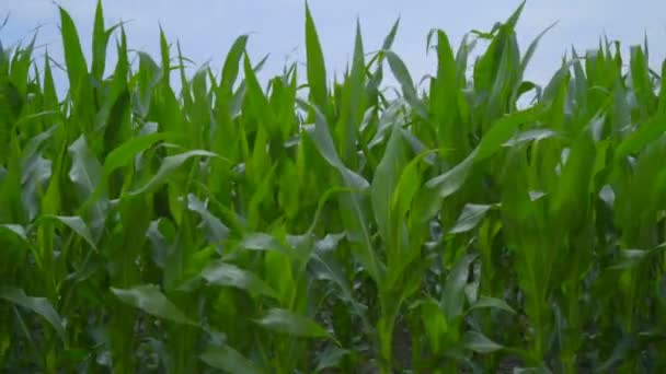 Kukuřičné pole zblízka. Rýžování na kukuřičném poli. Stonky obilí vlnící se ve větru