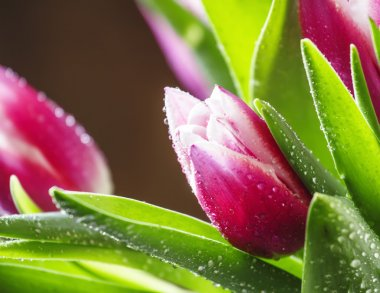 Bouquet of beautiful pink and white tulips with dew drops