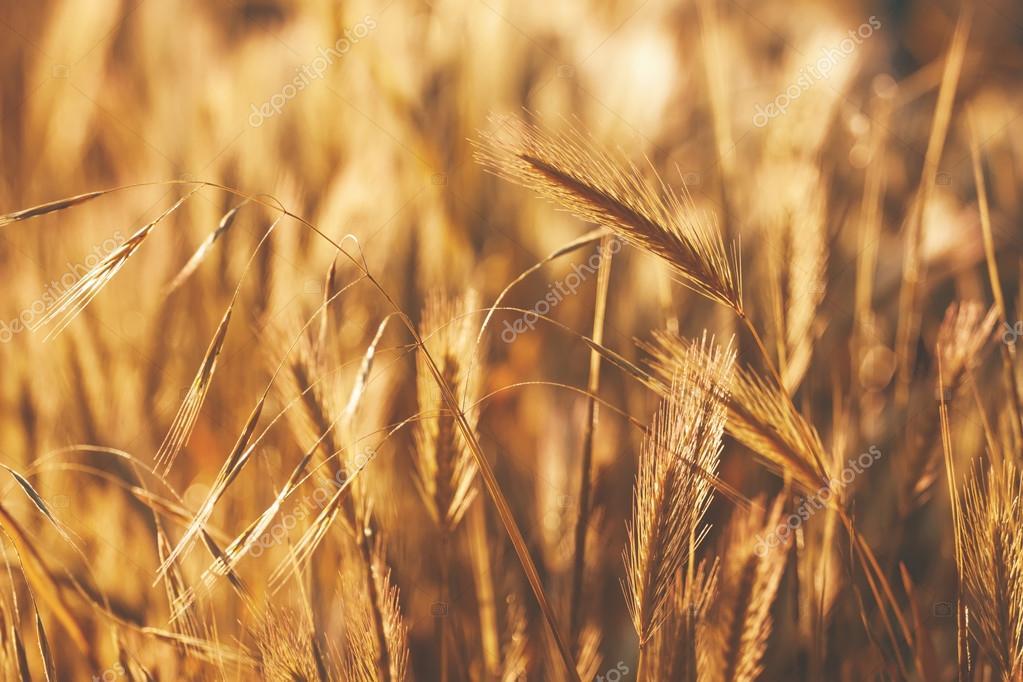 Spikelets gold color, backlit, natural summer background