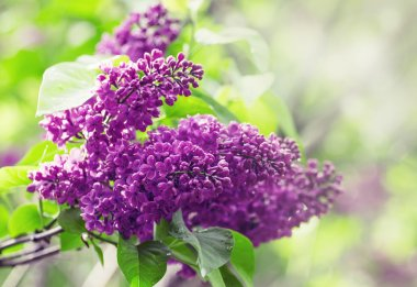 Blooming lilacs in the rain