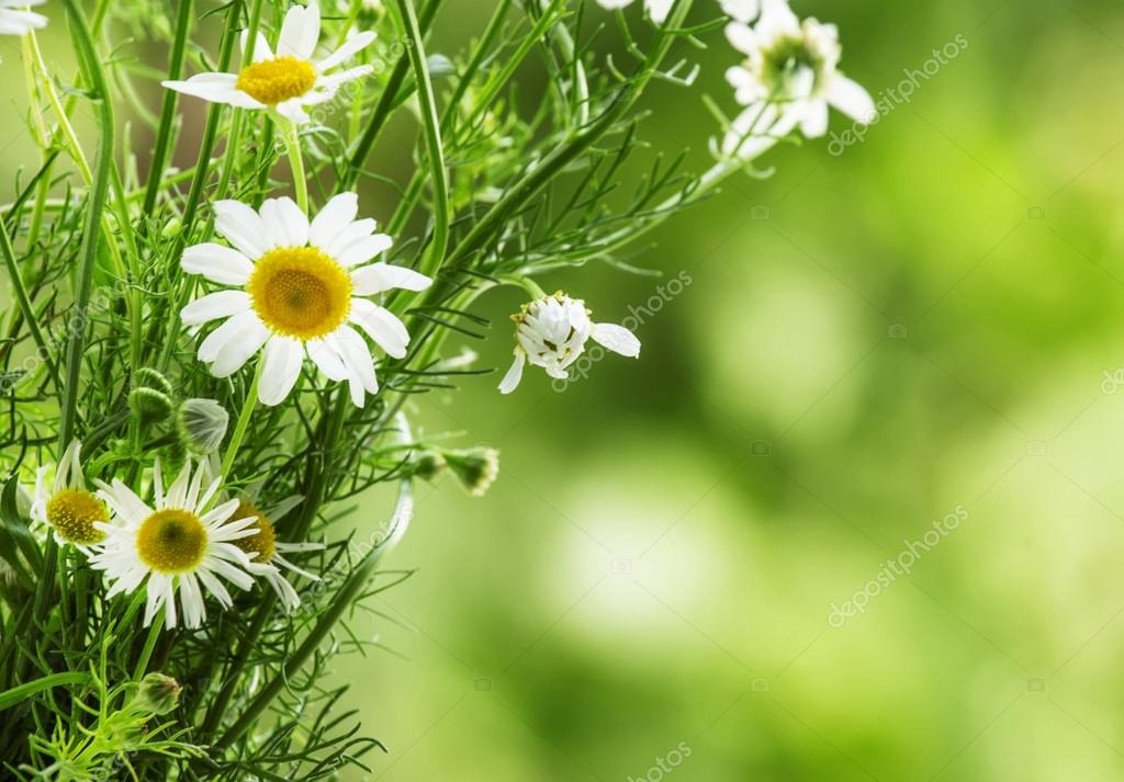 Bouquet of wild daisies on green blurred background