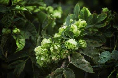 Hop cones on a bush, dark green blur natural background