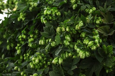 Hop cones on a bush, dark green blur natural background