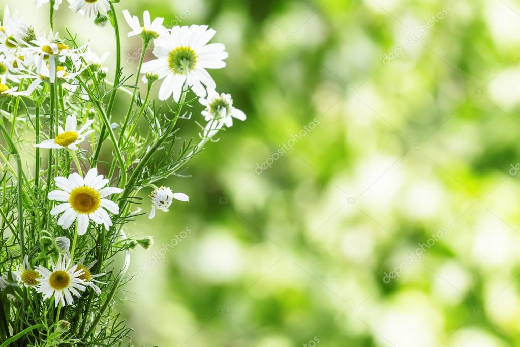 Bouquet of wild daisies
