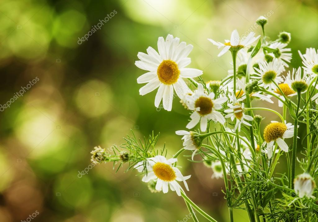 Bouquet of wild daisies